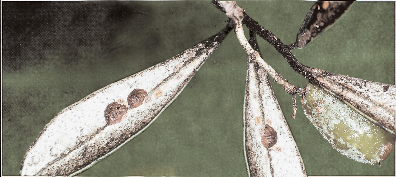 Cochinilla olivo
