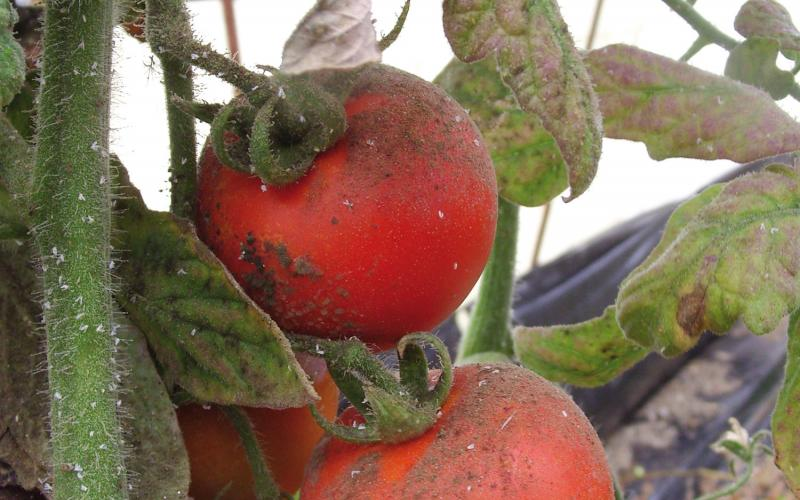 Melaza en Tomate